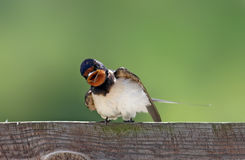 Swallow Stock Photos