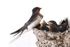 Swallow. Nest with hungry nestlings royalty free stock images