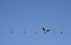 Swallow. Some greats swallows in the sky Royalty Free Stock Photo