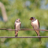 Swallow. Adult swallow bird sitting on wire with little swallow Royalty Free Stock Photo