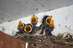 Swallow babies Stock Photo