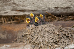 Swallow babies. In the nest stock photo