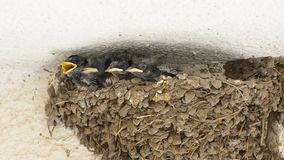 Swallow Babies in a Nest stock video