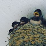 Swallow. Baby swallows Nest royalty free stock images