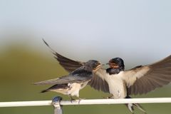 Swallow - sensitivity and delicacy. Swallow, beautiful eyes of a bird, beautiful feathers, feeding a young bird, long beak, outstretched wings, precision of Royalty Free Stock Images