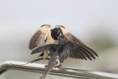 Swallow - sensitivity and delicacy when feeding offspring. Swallow, beautiful eyes of a bird, beautiful feathers, feeding a young bird, long beak, outstretched Stock Photo