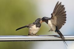 Swallow - sensitivity and delicacy when feeding offspring. Swallow, beautiful eyes of a bird, beautiful feathers, feeding a young bird, long beak, outstretched Royalty Free Stock Photos