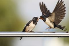 Swallow - sensitivity and delicacy when feeding offspring. Swallow, beautiful eyes of a bird, beautiful feathers, feeding a young bird, long beak, outstretched Stock Photos