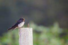 The swallow Royalty Free Stock Photos