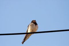 Swallow bird Royalty Free Stock Images