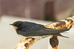 Swallow Bird Royalty Free Stock Photos