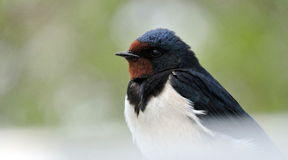 Swallow bird Stock Image