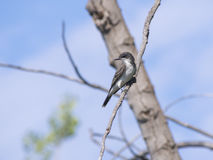 Swallow bird Royalty Free Stock Photography