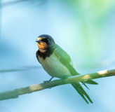 Swallow bird perched Royalty Free Stock Photography