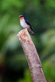 Swallow bird sitting on a branch Stock Images