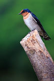 Swallow Bird Sitting On A Branch Royalty Free Stock Image
