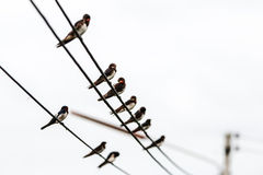 Swallow bird Royalty Free Stock Image