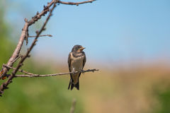 Swallow bird on tree branch. Resting Royalty Free Stock Photography
