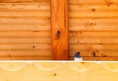 Swallow bird under a wooden shelter Stock Photography