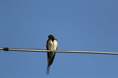 Swallow bird on a wire Royalty Free Stock Photography