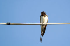 Swallow bird on a wire Stock Image
