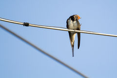 Swallow bird on a wire Stock Photo