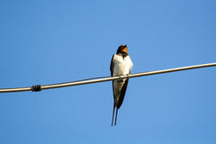 Swallow bird on a wire Stock Images
