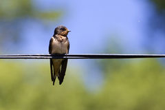 Swallow bird on wire royalty free stock image