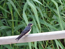 Swallow bird Stock Images