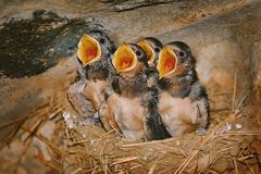 Swallow Birdlings with Open Beaks Stock Images