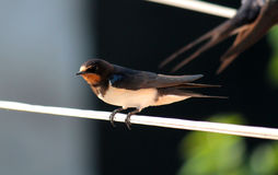 Swallow Stock Images