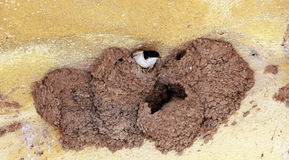 Swallow  birds  nest. On a yellow wall Stock Image