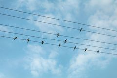 Swallow birds on power lines. Blue sky background Royalty Free Stock Image