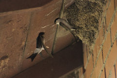 Swallow birds Royalty Free Stock Images
