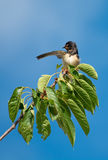 Swallow on Branch Pointing Direction Royalty Free Stock Photography