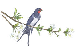 Swallow on branch. Watercolor illustrations. Bird on apple tree. Hand drawn illustrations Royalty Free Stock Image