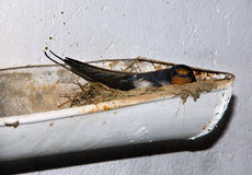 Swallow brooding on rain gutter Stock Photos
