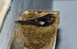 Swallow brooding on rain gutter nest Royalty Free Stock Photos