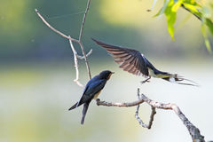 swallow brought their chick food on a branch over the pond Royalty Free Stock Photography