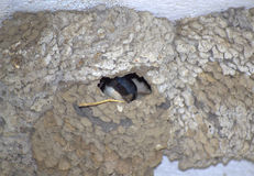 Swallow build nest. Swallow with mud in the beak building their nest Stock Images
