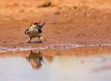 Swallow che raccoglie fango Fotografie Stock