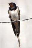 Swallow che si siede sul collegare Fotografie Stock Libere da Diritti