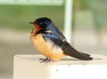Swallow chick in spring. Tiny swallow chick perched on a post stock photography