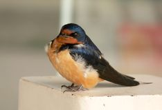 Swallow chick in spring. Tiny swallow chick perched on a post stock images
