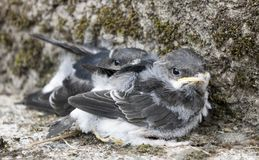 Swallow Chicks. Found on ground after thier nest fell down royalty free stock photos