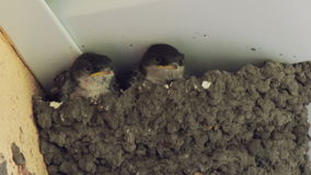 Swallow chicks in the nest. Swallow feeding chicks stock video