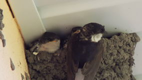 Swallow chicks in the nest. Swallow feeding chicks stock footage