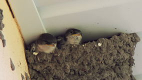 Swallow chicks in the nest. Swallow feeding chicks stock video footage