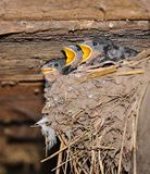 Swallow chicks Stock Photos