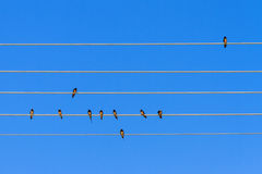 Swallow composition Royalty Free Stock Photography